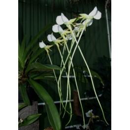 Angraecum eburneum v longicalcar