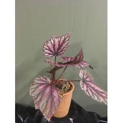 Begonia 01