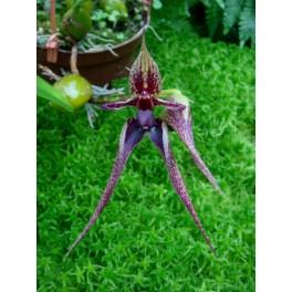 Bulbophyllum Hans' Delight