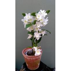 Dendrobium Nobile Hybrid (Hvid)