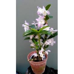Dendrobium Nobile Hybrid (Pink tip)