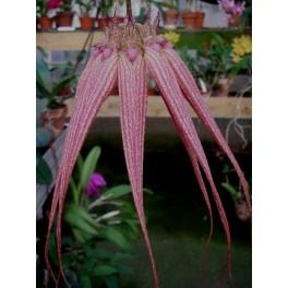 Bulbophyllum Elisabeth Ann