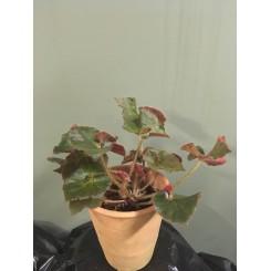 Begonia 03