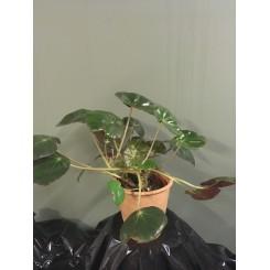 Begonia 05