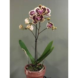 Phalaenopsis Hybrider