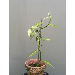 Vanilla planifolia 'fragans' (variegata)