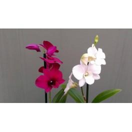 Dendrobium Phalaenopsis Hybrid