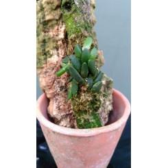 Dendrobium lichenastrum