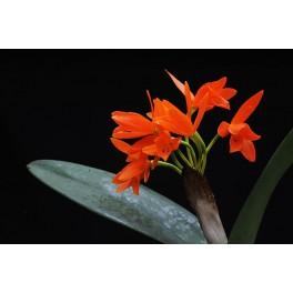 Cattleya aurantica