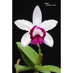 Cattleya intermedia 'coerulea orlata