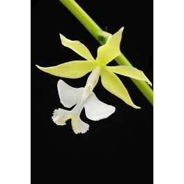 Epidendrum stamfordianum alba