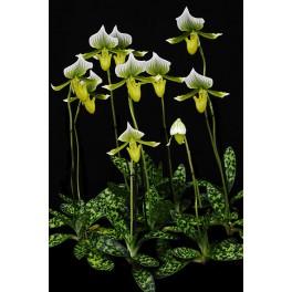 Paphiopedilum Maudiae ´Magnificum´ Hybrid