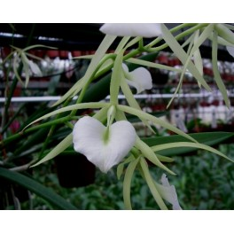 Brassavola Little Star