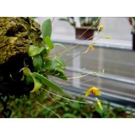 Bubophyllum aestivale