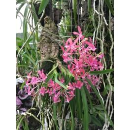 Ascocentrum curvifolium x Neofinettia falcata (Ascofinetia Peaches)