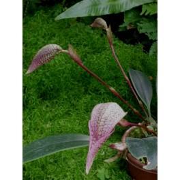 Bubophyllum arfarkianum