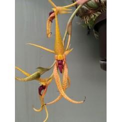 Bulbophyllum recurvilabre