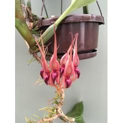 Bulbophyllum pahudii
