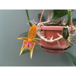 Bulbophyllum smithlandii