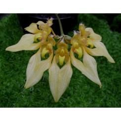 Bulbophyllum annandai