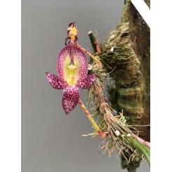 Bulbophyllum macrantum (Seidenfaden)