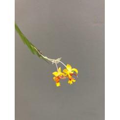 Lockhartia amoena
