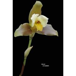 Lycaste macrophylla
