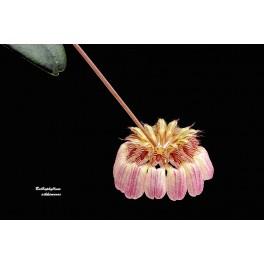 Bulbophyllum sikkemense