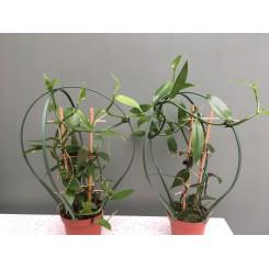 Vanilla planifolia 'fragrans'