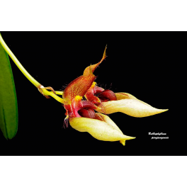 Bulbophyllum pingtungense