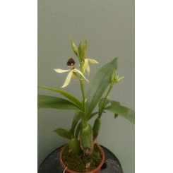 Epidendrum Green Hornet