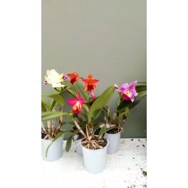 Cattleya Laeliocattleya hybrid