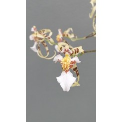Oncidium pymatochilum