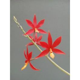 Epidendrum vitellina