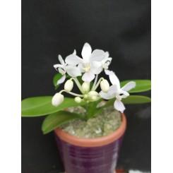 Phalaenopsis equestris 'albacens'