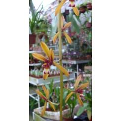 Cymbidium findleysonianum