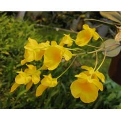 Dendrobium aggregatum/linley