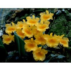 Dendrobium jenkinsi