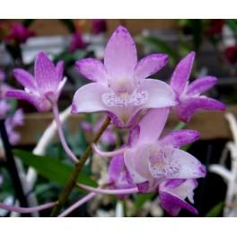 Dendrobium King Rose