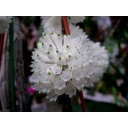 Dendrobium purpureum alba