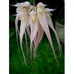 Bulbophyllum sanguineopunctatum