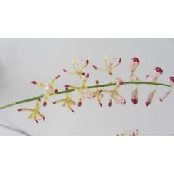 Agriopsis javanica
