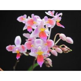 Phalaenopsis equestris '3lips'