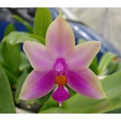 Phalaenopsis violacea 'Sumatrana