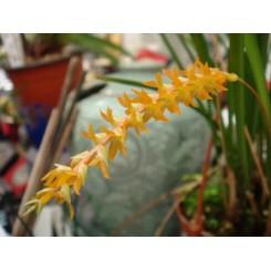 Dendrochillum wenzelii 'Yellow'