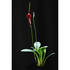 Masdevallia Red Magic