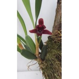 Maxillaria sehunkianum