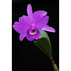 Cattleya skinnerii