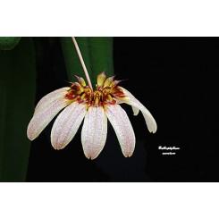 Bubophyllum auratum